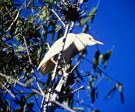 Cattle Egret 03a, Madagascar, 1-11-88.jp