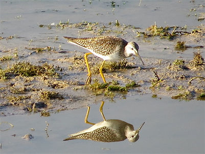 Lesser Yellowlegs 106a, Cheddar Res, 25_