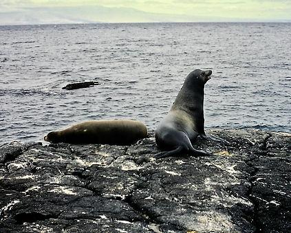 Galapagos Fur Seal 02a, Santiago, 27_7_8