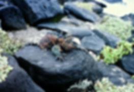 Marine Iguana 04a, Hood, Galapagos, 25-7