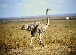 Ostrich 04a, Nairobi NP, Kenya, 29-10-88