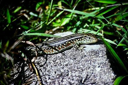 Ornate Girdled Lizard 01a, Ranomafana, M