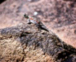 Ground Agama 01a, Tsavo, 12_88.jpg
