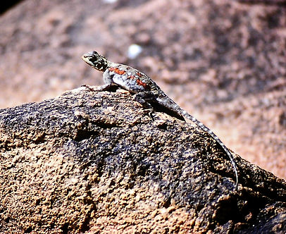 Ground Agama 01a, Tsavo, 12_88.jpg