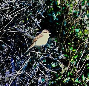Red-backed Shrike, Benacre Broad, 20_8_7