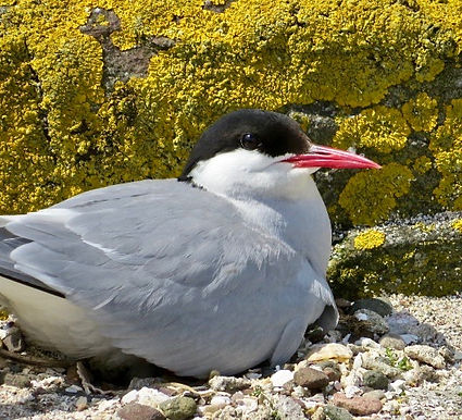 Arctic Tern 03, Farne Islands, 6_6_19.jp