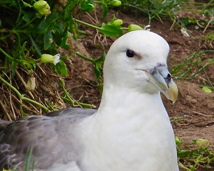 Fulmar 06, Farne Islands, 6_6_19.jpg