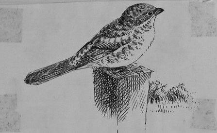 Woodchat Shrike, LAT, Pagham, 26-9-76.jp