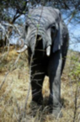 African Elephant 22a, Zimbabwe, 9_98.jpg
