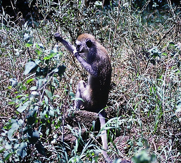 Vervet Monkey 02a, Kenya, 4_12_88.jpg