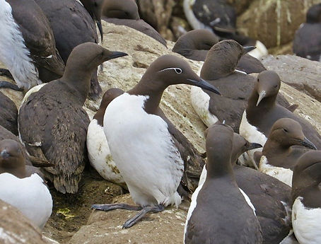 Guillemot 03, Farne Islands, 6_6_19.jpg