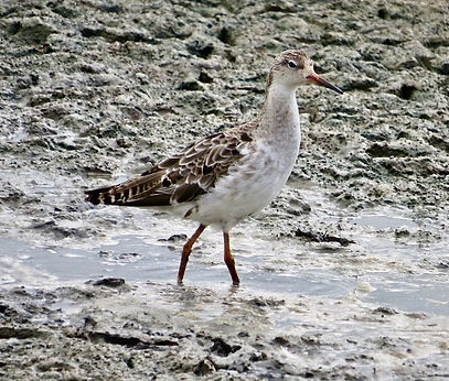 Ruff 05, Slimbridge, 1-8-20.jpeg