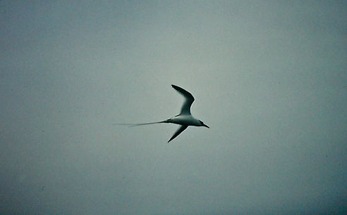 Red-billed Tropicbird 02a, Hood, Galapag