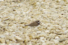 Little Ringed Plover 10a, Steart, 12_6_1