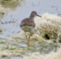 Lesser Yellowlegs 117a, Cheddar Res, 29_