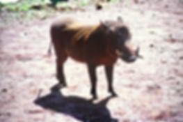 Warthog 02a, Tsavo, Kenya, 5_12_88.jpg