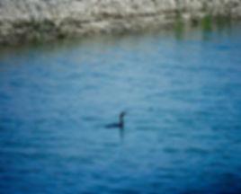 Pygmy Cormorant 01a, Lake Marmara, Turke