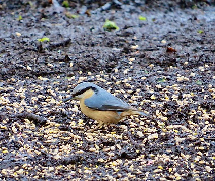 Nuthatch 200123-01, Forest of Dean.jpeg