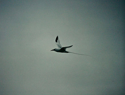 Red-billed Tropicbird 01a, Hood, Galapag