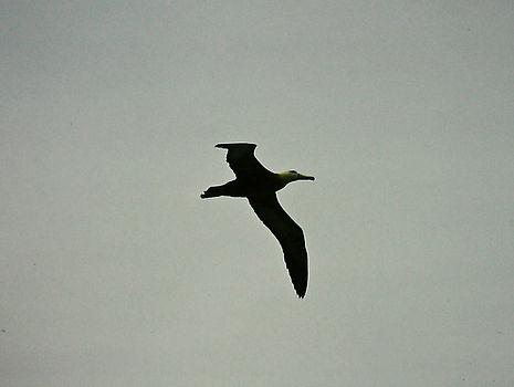 Waved Albatross 04a, Hood Galapagos, 25-