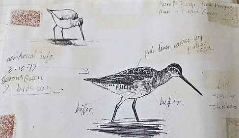 Long-billed Dowitcher, LAT 02, CVL, 8_10