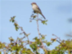 Woodchat Shrike 170925, Chipping Sodbury