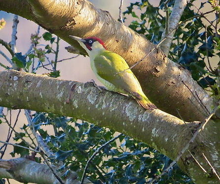 Green Woodpecker 06, Elm Lodge, 2-4-21.j