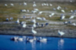 Snow Goose 04a, Maryland, 10_87.jpg