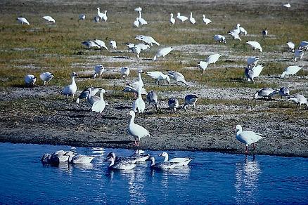 Snow Goose 04a, Maryland, 10_87.jpg