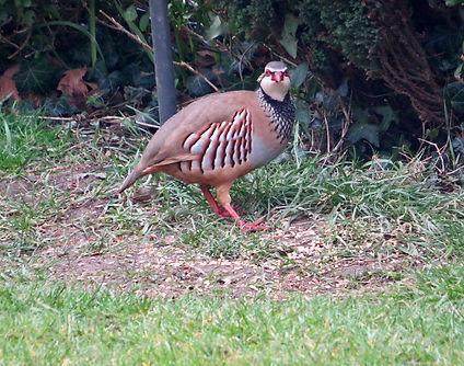 Red-legged Partridge 05, Elm Lodge, 19-3