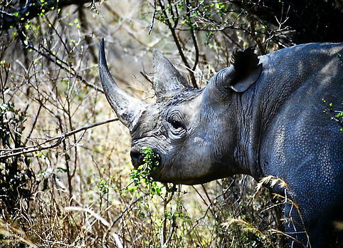 Black Rhinoceros 11a, Zimbabwe, 9_98.jpg