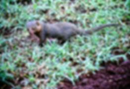 Eastern Dwarf Mongoose 03a, Kenya, 12_88