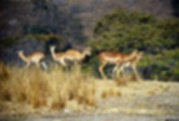 Impala 05a, Zimbabwe, 9_98.jpg