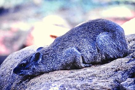 Black-necked Rock Hyrax 05a, Kenya, 12_8