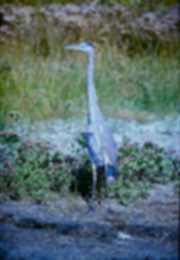 Great Blue Heron 02a, Virginia, 18-10-87