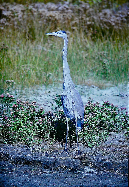 Great Blue Heron 02a, Virginia, 18-10-87