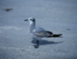Laughing Gull 07aa, Carolina, 31-10-87.j