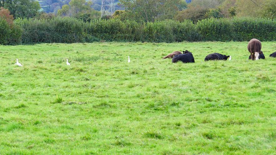 Cattle Egrets 01, CVL, 13-10-20.jpeg
