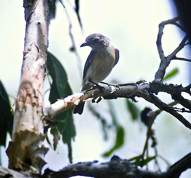 Rufous Whistler 02a, female, Kakadu, 29_