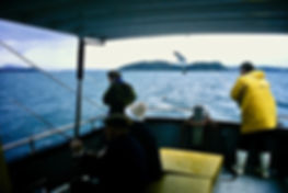 Shy Albatross 29a, Stewart Is NZ, 17-11-