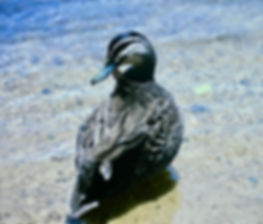 Pacific Black Duck 01a, Australia, 12_93