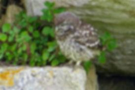 Little Owl 12aa, juv, Portland, 11_6_16