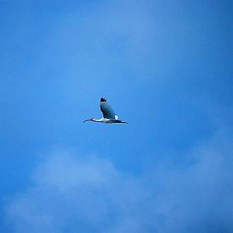 White Ibis 04b, Carolina, 24-10-87.jpg