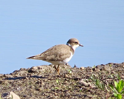 Little Ringed Plover 18913-03, juv, Slim