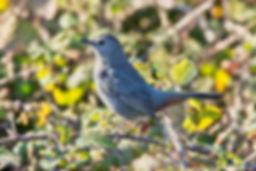 Gray Catbird by birdsonline, 10_18.jpg