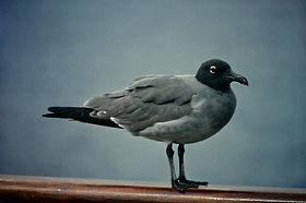 Lava Gull 03a, Plaza, Galapagos, 26-7-86