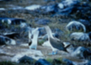 Blue-footed Booby 05a, Hood, Galapagos,