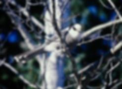 Gray Jay 02a, Algonquin, 11_87.jpg