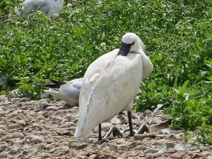 Spoonbill 01a, Slimbridge, 26-6-13.jpg