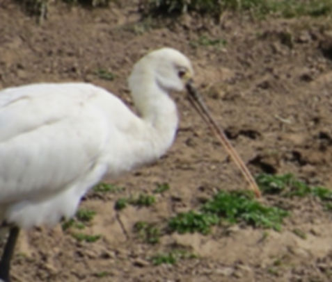 Spoonbill 180624-11, Slimbridge, 24_6_18